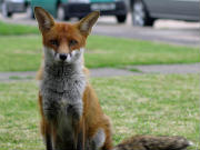 North London Fox Control