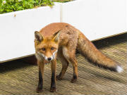 South East London Fox Control