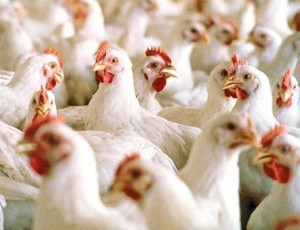 Heat stress in poultry – What should you do?
